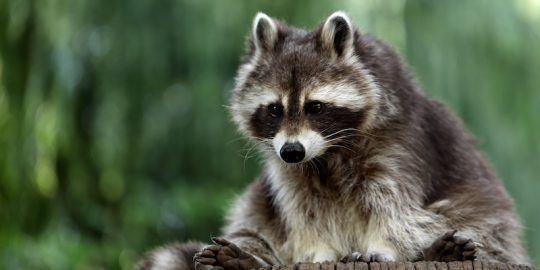 raccoon malware analysis