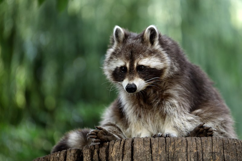 raccoon malware analysis