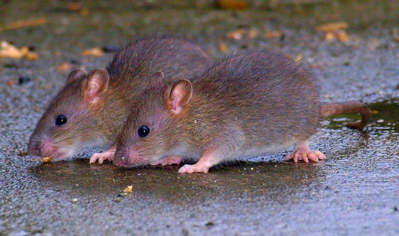 wsh rat revenge rat double threat