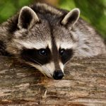 Copycat Site Serves Up Raccoon Stealer
