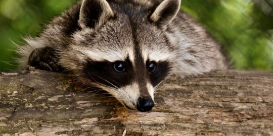 malwarebytes raccoon stealer