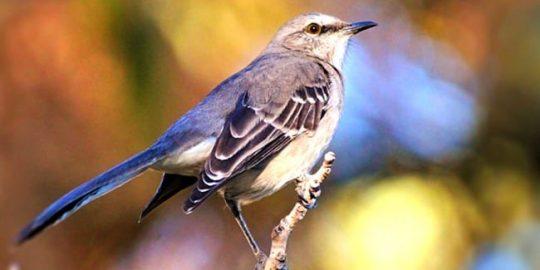 blue mockingbird cryptomining