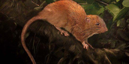 transparent tribe crimson rat