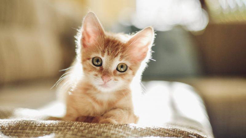 charming kitten iran apt