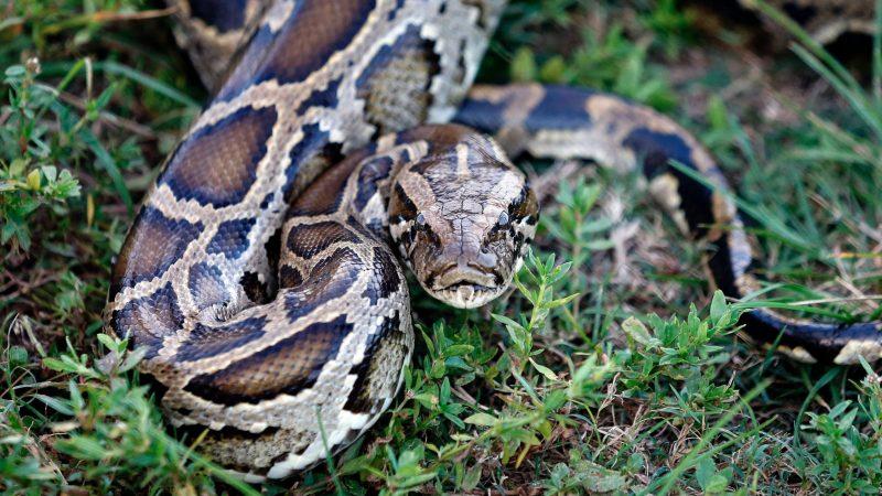 pyvil evilnum python rat