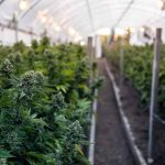 GrowDiaries Exposes Emails, Passwords of 1.4M Cannabis Growers