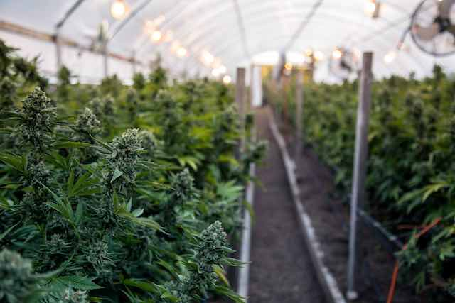 , GrowDiaries Exposes Emails, Passwords of 1.4M Cannabis Growers
