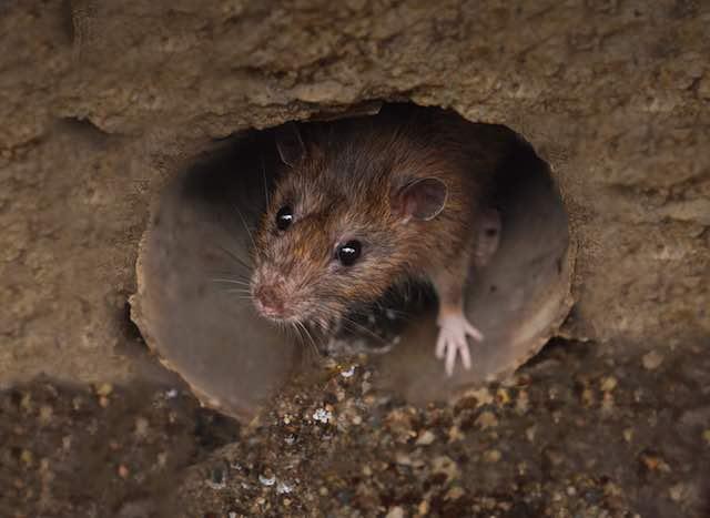 oblique rat evolves