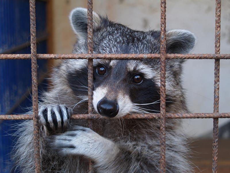 Raccoon Stealer Bundles Malware, Propagates Via Google SEO